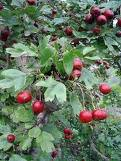 Biancospino Frutti
